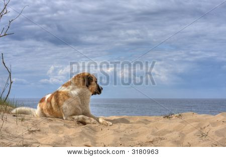Dog Looking At The Sea