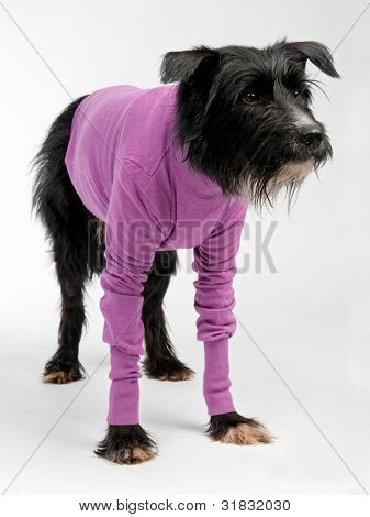 Funny dog wearing sweater isolated on white background