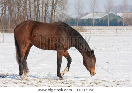 Brown Horse On Snowy Meadow  Searching For Grass