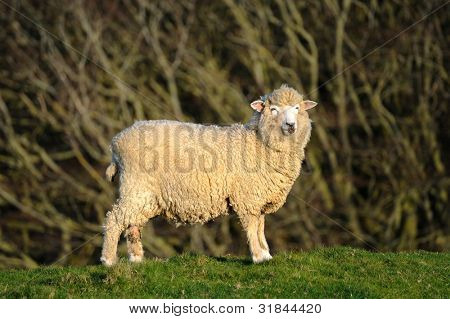 Sheep on a hilltop with trees in the background in Dorset, England.