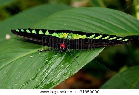malaysian bird wing butterfly on a green leaf