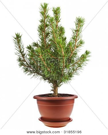 Young decorative spruce Conica in flower pot isolated on white