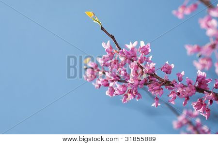 Eastern Redbud tree, Cersis canadensis, brilliant pink flowers in morning sunlight against blue sky