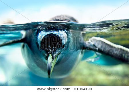 Penguin is under water looking at camera