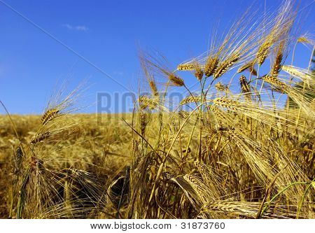Ears of wheat on a background sky
