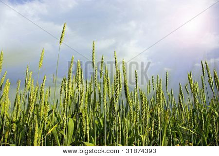 Wheat field on a background sky