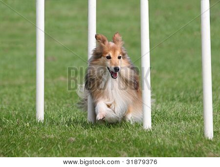 Happy Sheltie going through an Agility Weave Poles