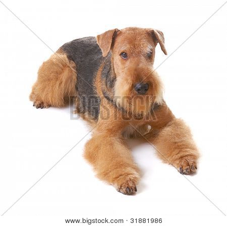 pureblooded dog Airedale isolated on white background