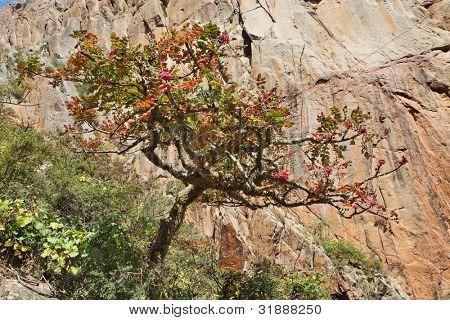 Boswellia tree � frankincense tree in blossom