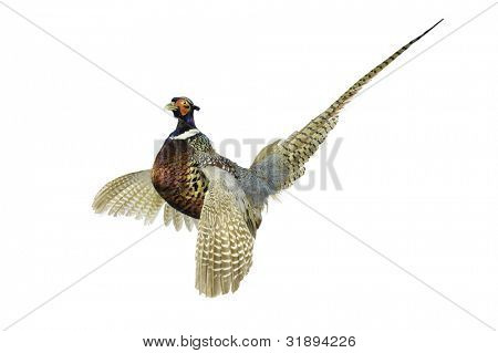 close-up of a Male Pheasant with wings outspread crowing over a white background