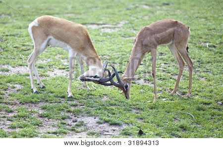 Two young impala males locking horns in the grass