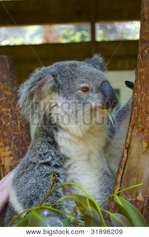 Koala sitting on eucalyptus tree, closeup detail view