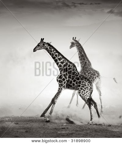 Giraffes on the run (Artistic processing)