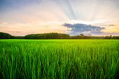 Rice Field Rural With And Colorful Of Sky In Twilight, Green Field Rural Countryside poster