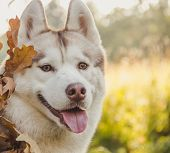 Husky Portrait. Young Husky Dog For A Walk In The Park In Autumn. Husky Breed. Light Fluffy Dog. Wal poster