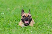 French Bulldog. Young Energetic Dog Is Walking And Playing. How To Protect Your Dog From Overheating poster