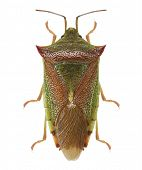 Green shield bug (Palomena prasina) isolated