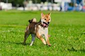 Energetic Puppy Shiba Inu Is Walking And Playing. How To Protect Your Dog From Overheating. Dog Is G poster