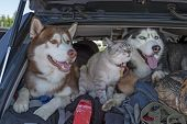Friendship Cat And Dog. Two Husky Dogs And Cat With Blue Eyes In The Trunk Car. A Joint Trip With Pe poster