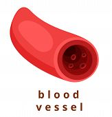 Normal Healthy Artery Red Blood Flow Realistic. Blood Vessel With Red Corpuscles. Modern Flat Cartoo poster
