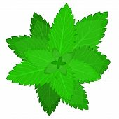 Fresh Mint Leaf. Vector Menthol Healthy Aroma. Herbal Nature Plant. Spearmint Green Leafs. Mint. Mod poster