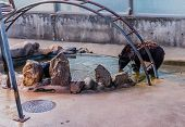 Asiatic Black Bear Drinking From Pool Of Water In Cage At Local Zoo. poster