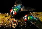 The Name Green Bottle Fly Or Greenbottle Fly Is Applied To Numerous Species Of Calliphoridae Or Blow poster