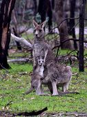 Mother Kangaroo Standing With Her Joey In A National Park poster