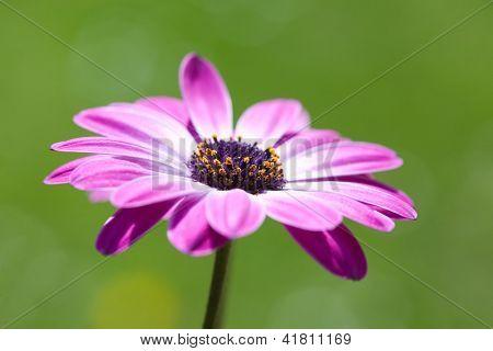 Purple Osteospermum, shallow dof, african daisy over green blurry background
