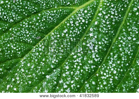 Ice On A Green Leaf