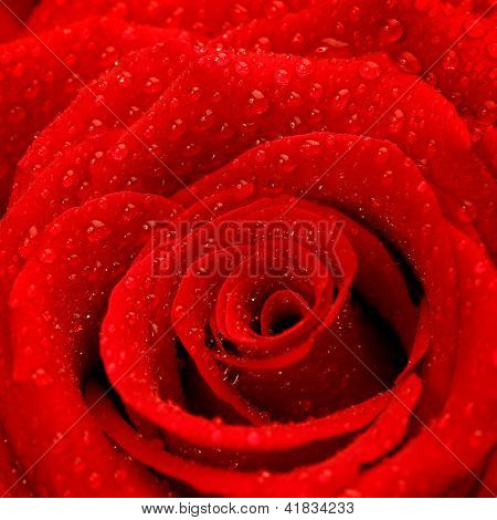 Photo of red rose background, beautiful fresh flower with dew drops on petals, abstract natural backdrop, birthday greeting card, romantic present, Valentines day, wedding postcard, love concept