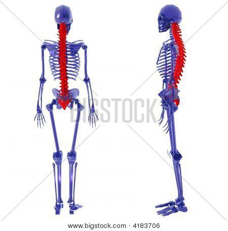 Human Skeleton Over White Bad Back