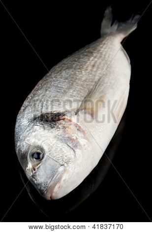 Dorade - gilthead bream - isolated on black background