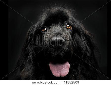Newfoundland, dog