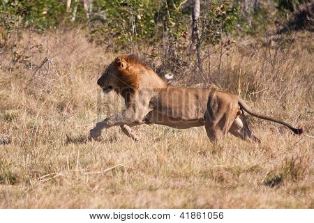 Lion Male Hunt Run Fast