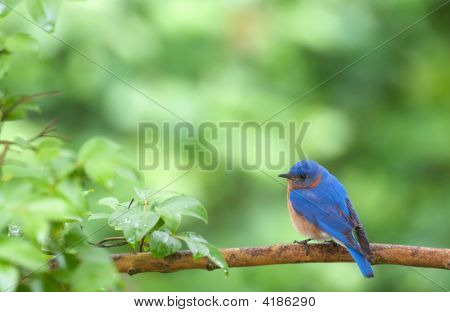 Eastern Bluebird In Spring
