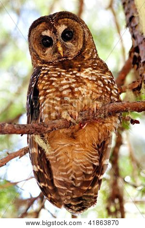 Spotted Owl Perched On A Branch