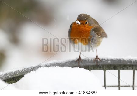 robin (Erithacus rubecula) sitting on a metal fish basket covered in snow