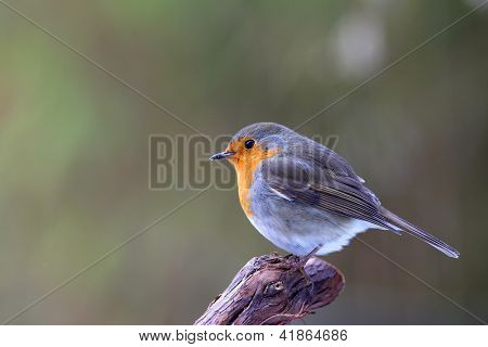 robin (Erithacus rubecula) sitting on a branch