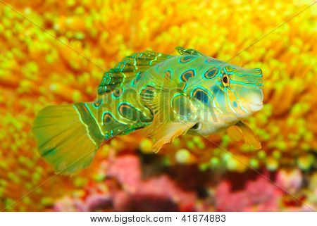 The Mandarinfish or Mandarin dragonet (Synchiropus splendidus). Little tropical fish living on the coral reef. Close up with shallow DOF.