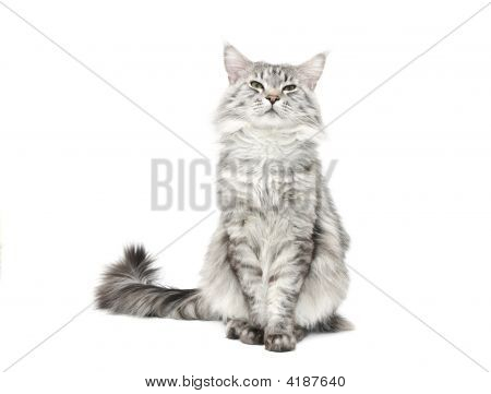 Grey Maine Coon Cat