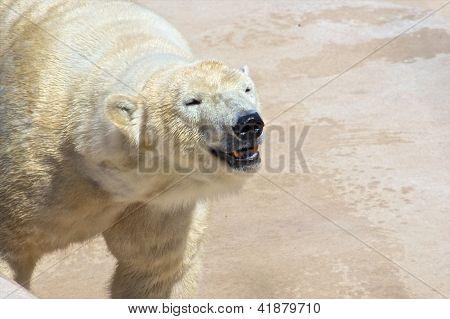 Approaching Polar Bear