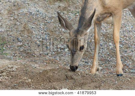 Cute Bambi 1
