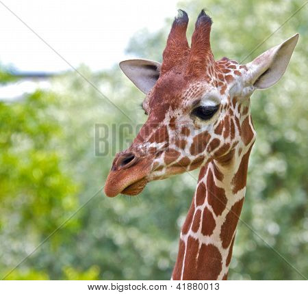 Giraffe Portrait 2