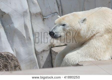 Lazy Polar Bear 2