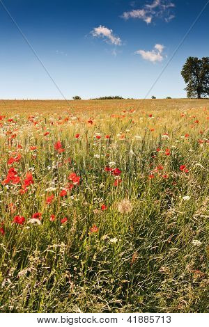 Poppy field in central Italy