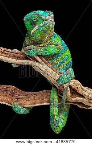 Chameleon Wrapped Around Branch