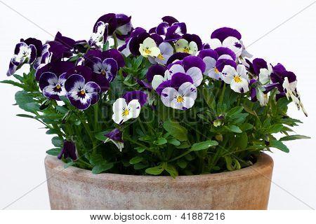 Viola Cornuta (Hornveilchen)