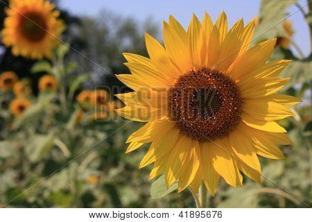 amarelo girassol grande em um campo
