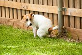 stock photo of harlequin  - Jack Russell Terrier Dog pooping on the grass - JPG